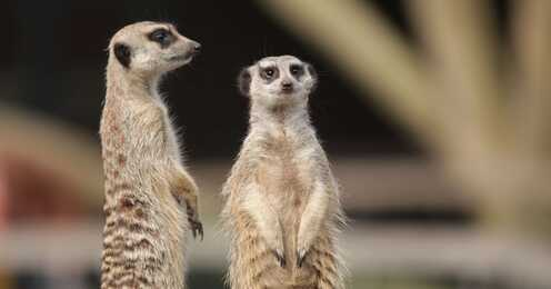 Meerkat stands up against the competition